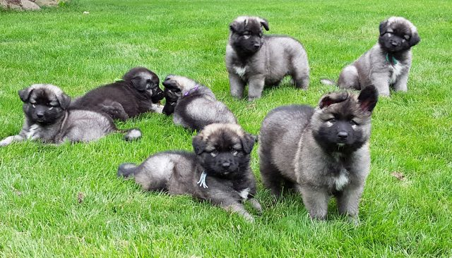 Ridgewood Shiloh Shepherd Puppies